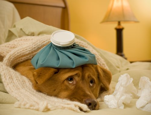 What You Need to Know About the Recent Dog Flu Outbreak